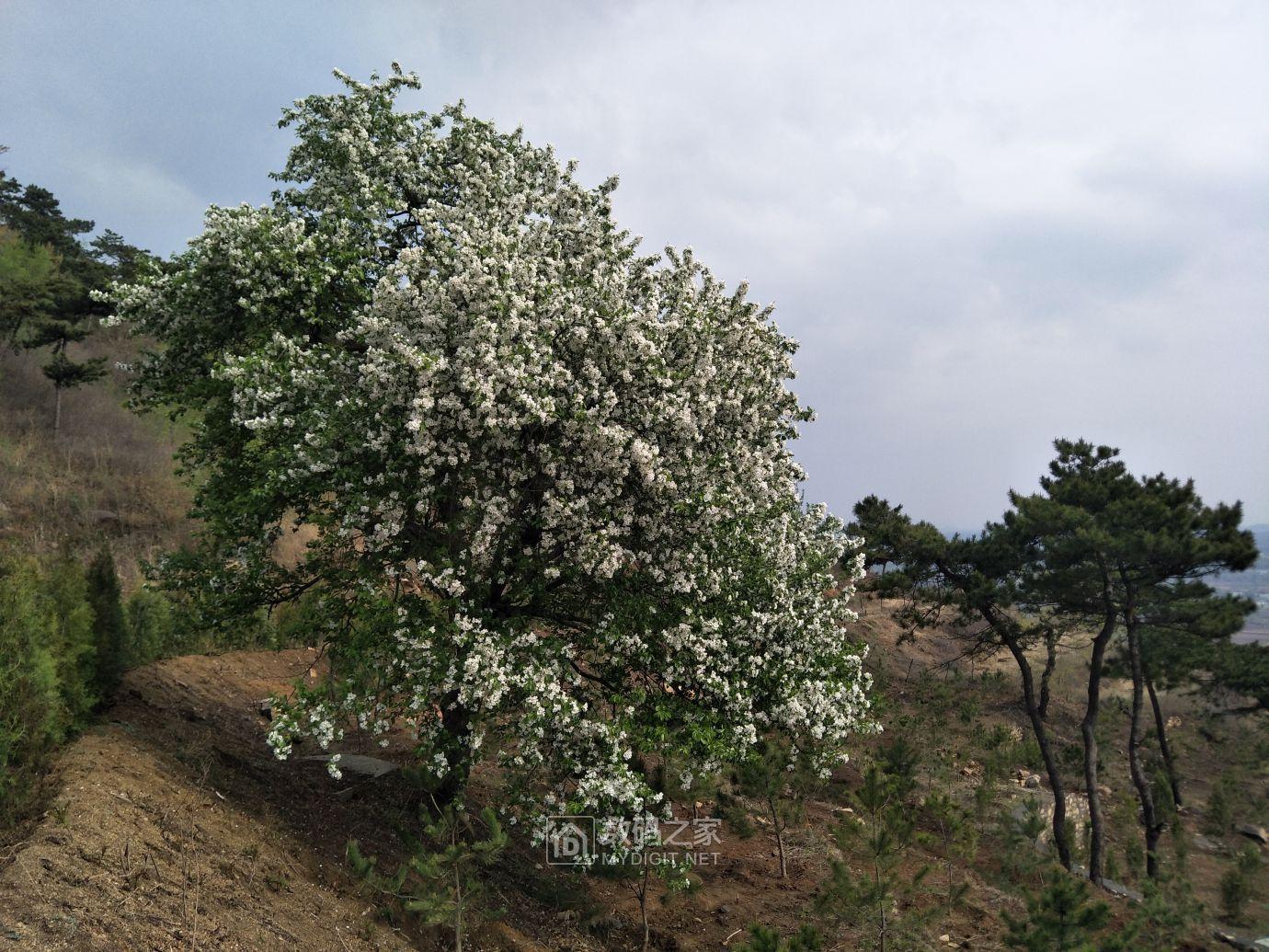 最后来一个家乡的百年海棠花养养眼