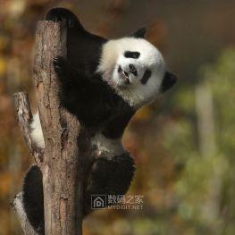 国宝-----中华大熊猫