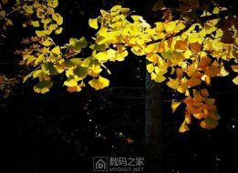 初冬之杏甚美