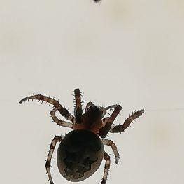 又一个蜘蛛