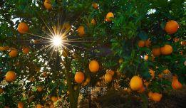 江西特产赣南脐橙10斤42元装现摘手剥橙新鲜水果