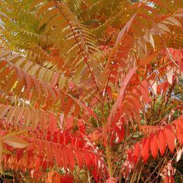 火炬树叶子
