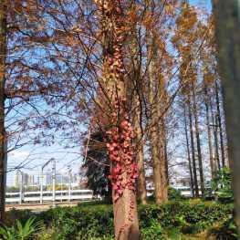 树上的红色藤蔓不知叫什么,太阳光下蛮好看